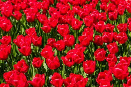goeree: Red tulips growing in a field.