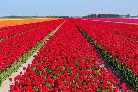 Flowering tulip fields on a sunny day in Holland with mainly red, orange and pink tulips.