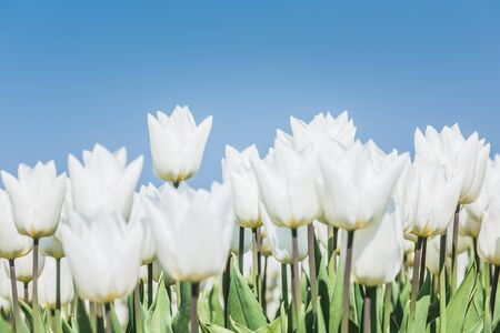 White tulips are standing in a field against a blue sky. Only the highest single tulip is in focus. There is copy space on top.