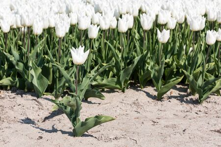 A single white tulip is standing in the soil in front of  a field full of white tulips in full bloom.