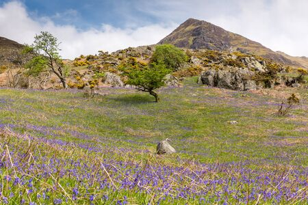 Bluebells are flowering in May at Rannerdale in the English Lake District. In the background is Whiteless Pike.