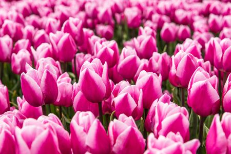 Full frame close up of a tulip field in Holland with pink and white tulips in full bloom during springtime.