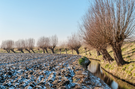 A row of pollard willows along a dyke in the dutch countryside during winter with a dusting of snow on the plowed land.