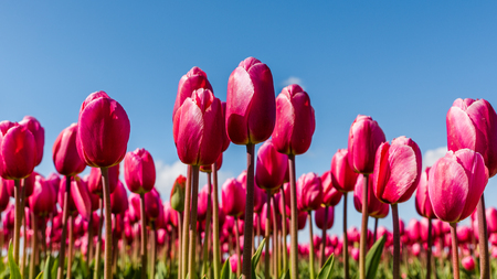 Vibrant pink tulips in a field in Holland on a sunny day with a blue sky above.
