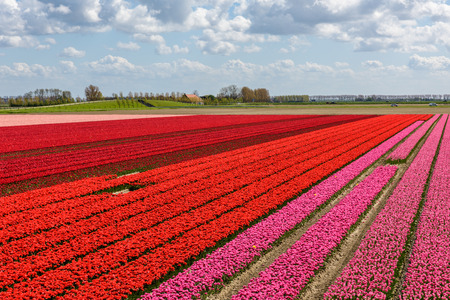 Tulip fields in Holland on a sunny day in spring. The beautiful rows with flowers are in full bloom with red and pink tulips.  The sky above is blue with clouds.