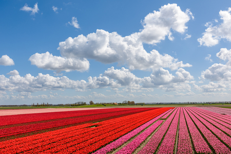 Beautiful tulip fields with red and pink tulips in full bloom on a sunny day in Holland. The blue sky above is stunning with typical white clouds and lots of copy space.