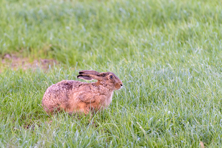 A european hare is sitting in a green meadow and looking attentively.