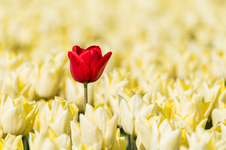 A single red tulip is standing in a field with yellow tulips in full bloom. The red tulip is a little higher than the yellow flowers, which makes it standout in color and height.