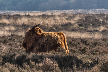 A higland cow is standing on a moor at the Veluwe in the Netherlands enjoying the early morning sun.  It is a lovely day during springtime. Archivio Fotografico