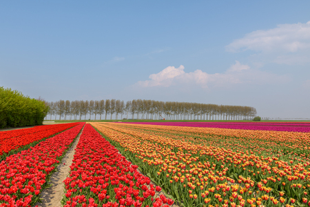 Flowering tulip fields on a sunny day in Holland with red, orange and pink tulips in full bloom.