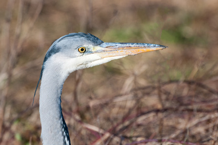 Close up portrait of a grey heron (ardea cinerea). The bird is alert and staring with an intense look.