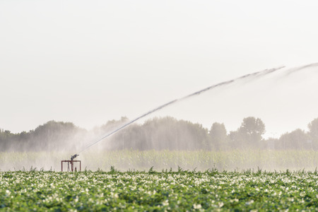A sprinkler is watering a field with potatoes in the Netherlands during a period of extreme drought in the summer of 2018. Stok Fotoğraf