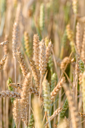 Close up of golden ears of wheat ripening in the sunshine during summer.