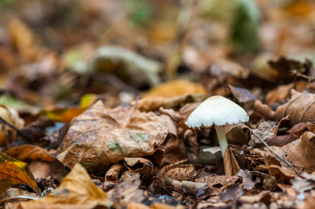 A small white mushroom (inocybe geophylla) is growing between brown fallen leaves in a forest during autumn.