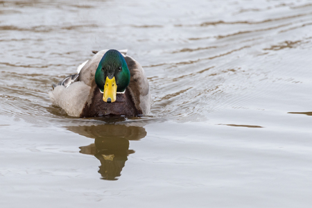 A male common mallard (Anas platyrhynchos) is swimming  in water and looking alert. Stok Fotoğraf