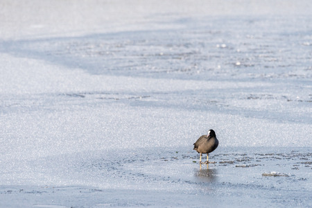 A winterscene with a coot (fulica atra) standing on the thin ice of a frozen pond on a beautiful winter day. Stok Fotoğraf