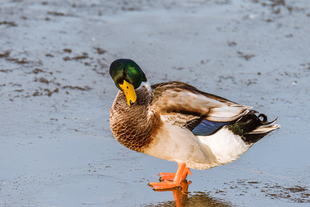 A male common mallard (anas platyrhynchos) is preening its feathers while standing on a frozen lake during winter.