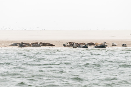 A group of seals are lying on a sandbank before the coast in the Waddensea in the Netherlands.