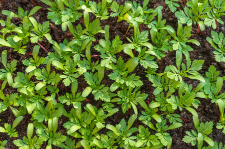 Overhead view of young marigold (tagetes) seedlings growing in spring.