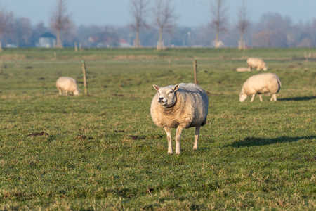 An attentive sheep is standing in a field during sunny day in winter. The animal is looking interested while other sheep are grazing in the background.