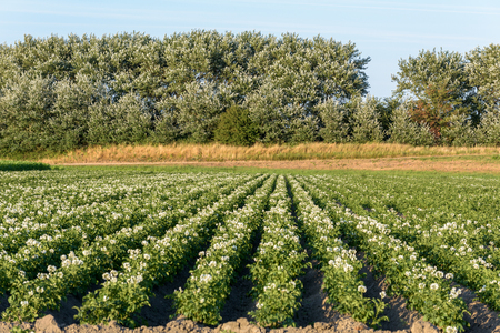 Farmland with lush flowering potato plants (solanum tuberosum) growing in rows during summer. There are trees in the background and blue sky above. Stok Fotoğraf