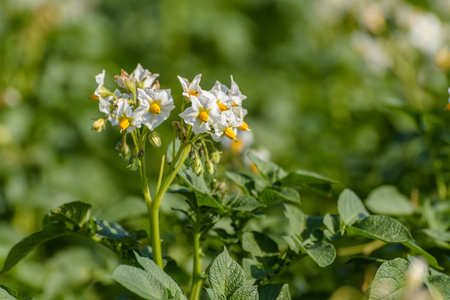 Close up of a white flowering potato plant (solanum tuberosum) growing in a field on a sunny day during summer.