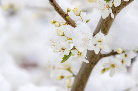 A dusting of snow has fallen on a branch of a tree with white blossoming flowers during early spring.