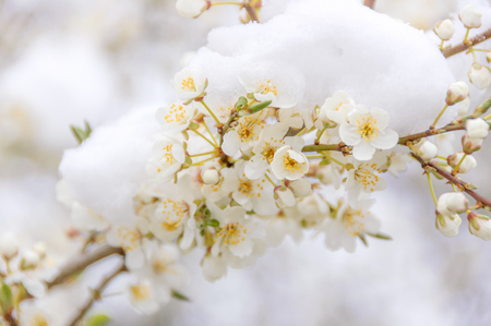 A branch of a tree with white blossoming flowers covered under a layer of snow during early spring.