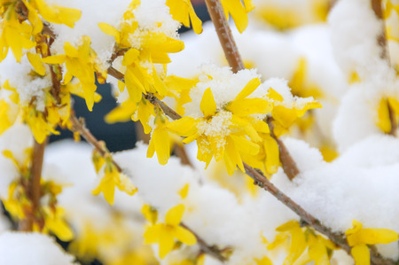 A branch of flowering forsythia, also known as easter tree, covered with a layer of fresh snow.