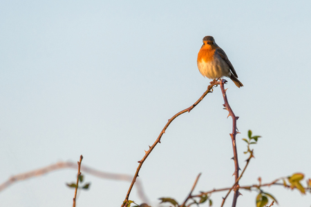 A robin (erithacus rubecula) perched high on the top of a branch with thorns in the late afternoon sunshine.