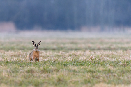 A european hare (Lepus europaeus) is sitting in a field during the early evening and is watching its surroundings. Stok Fotoğraf
