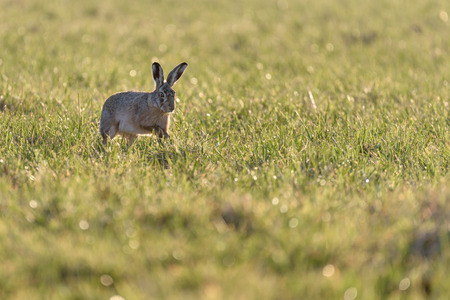A european hare (Lepus europaeus) is moving around in a field during early evening, backlit by the low sunlight.