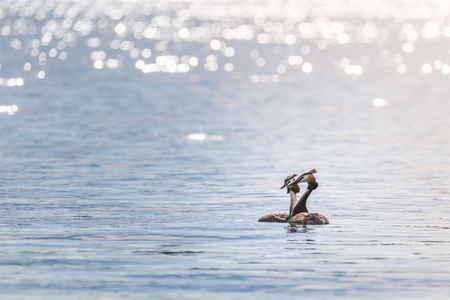 Two grebes (podiceps cristatus) are swimming on a lake while enjoying the late afternoon sun.