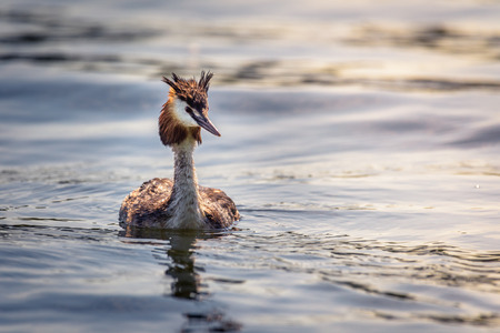 A great crested grebe (podiceps cristatus) is swimming on the water surface, looking interested and still wet from the last dive. Stok Fotoğraf
