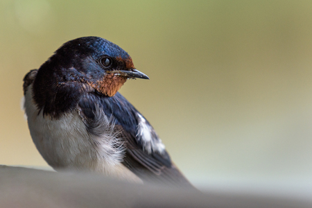 Close up portrait of a barn swallow (hirundo rustica)  sitting and looking over its shoulder.