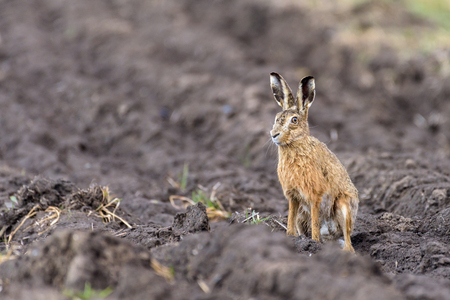 A european hare (Lepus europaeus) is sitting upright on farmland and is watching its surroundings. Stok Fotoğraf