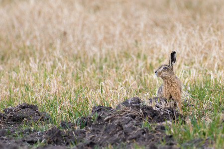 A european hare (Lepus europaeus) is sitting in a field and is watching its surroundings.