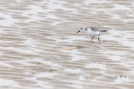 A little sandlerling (calidris alba) is searching for food on the beach at low tide. Stok Fotoğraf