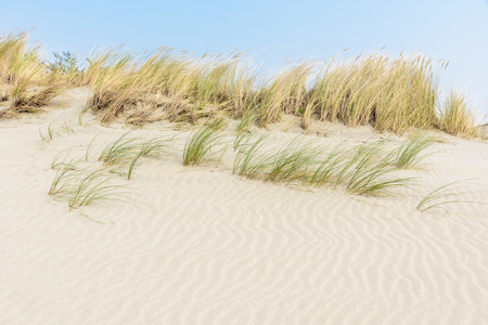 Rippled white sand dunes with marram grass growing on top on a sunny day and a blue sky above. Coastal landscape near Ouddorp in the Netherlands.