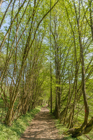 A path follows a route through the trees in the Ardennes, Belgium. It is a beautiful day during early spring with fresh young foliage at the branches of the trees.