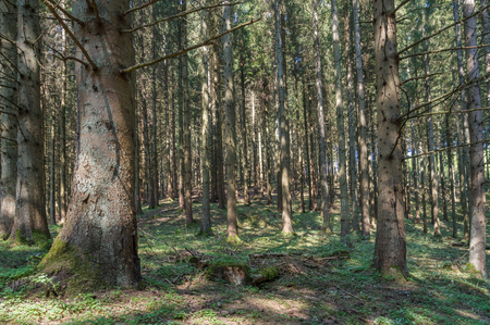 Fullframe background of a dense forest with many pine trees in the Ardennes, Belgium, Europe.