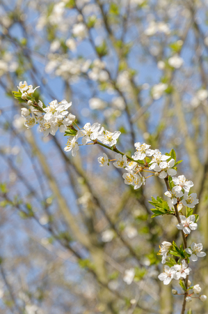 A branch of hawthorn with beautiful white flowers on a sunny day in spring with blue sky in the background.