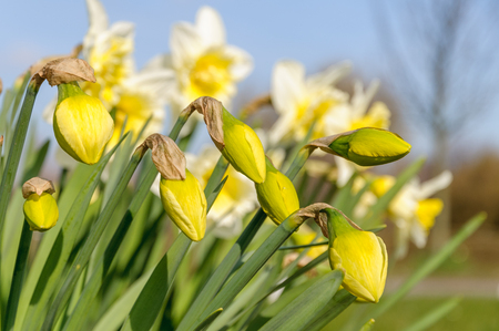 Fresh yellow daffodil buds (narcissus) are starting to flower against a blue sky on a sunny day in spring.