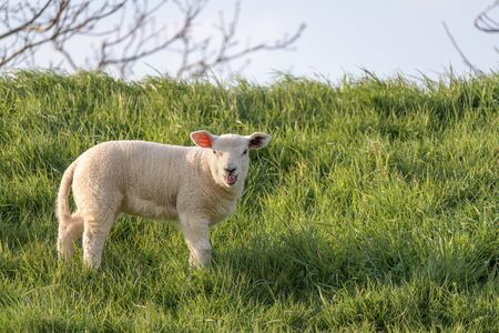 A bleating lamb stands in the grass on the slope of a dyke during spring.