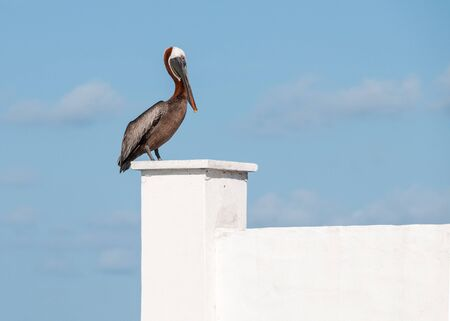 A single pelican (pelecanus) is sitting in the sunshine on a white concrete wall against a blue sky. Stock Photo