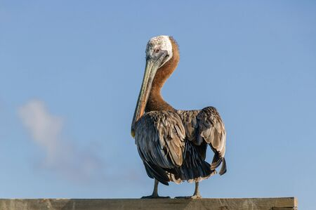 A single pelican (pelecanus) is standing in the sunshine on a wooden pole against a blue sky and looks back over its shoulder.