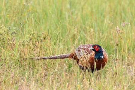A male common pheasant (phasianus colchicus) moves through the grass in a meadow during early summer. Stock Photo