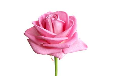 pink rose bud on white photo
