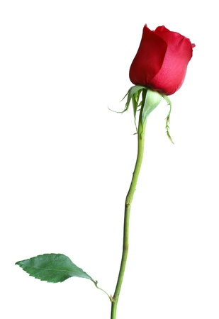 red rose on white Stock Photo - 10253907