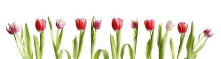 pink tulips: row of colorful tulips